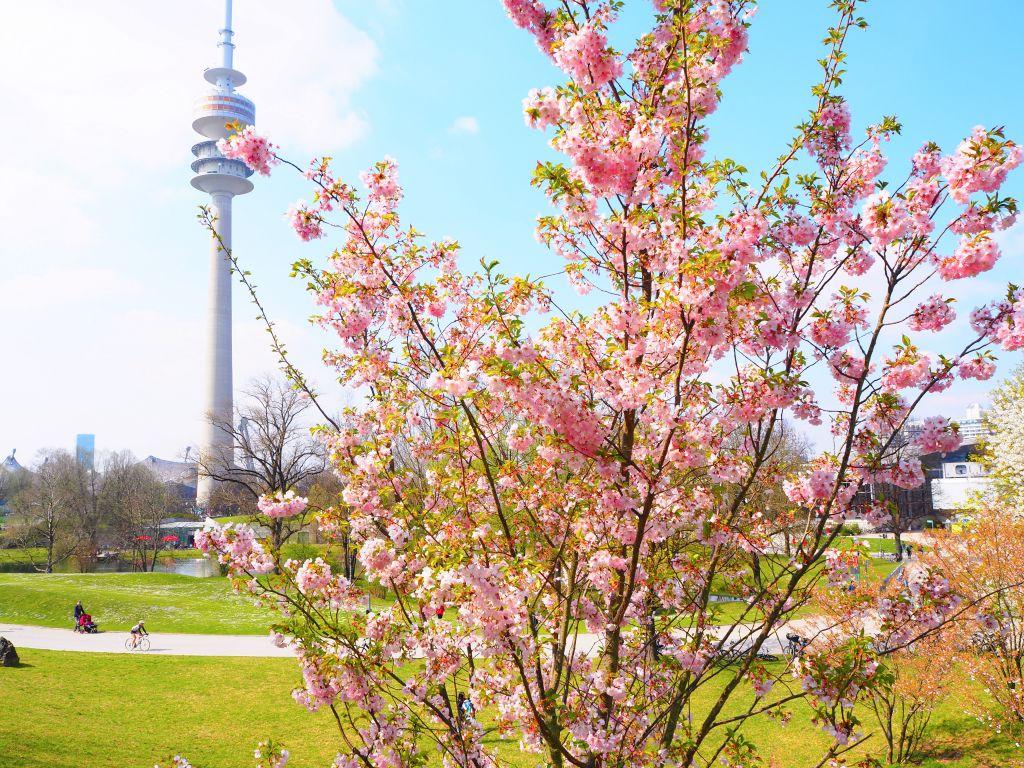 ミュンヘンの桜