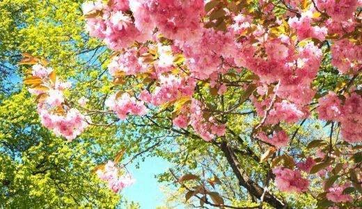ミュンヘンで桜咲く