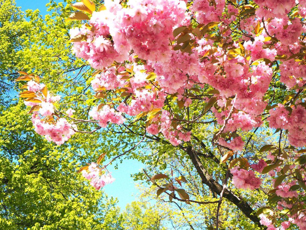 ミュンヘンで桜咲く- Cherry Blossoms in Olympia park Munich -