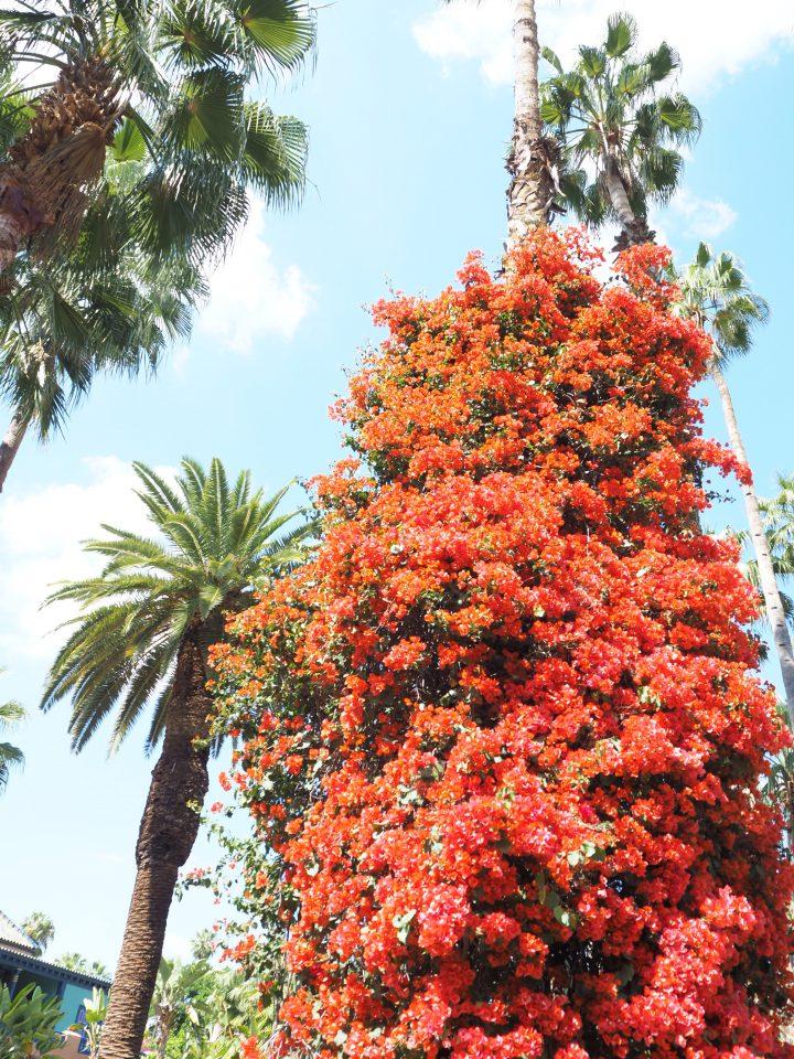 マジョレル庭園にある大きい赤い花達