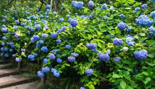 【鎌倉巡り】6月は明月院のあじさいを見に行こう